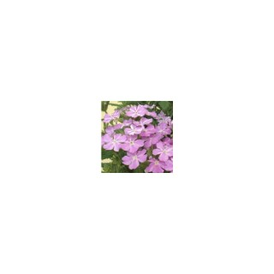 Verveine retombante multicolore en pot de 10,5 cm 791020