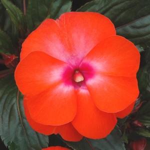 Impatiens de Nouvelle Guinée. La jardinière de 25 cm 225999