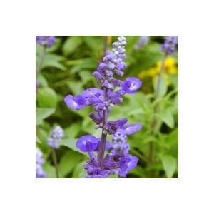Sauge farineuse bleue en coupe Ø 25 cm 493623