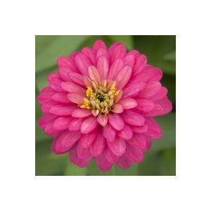 Zinnia multicolore à grandes fleurs en pot de 2,5 L Ø 16-21 791571