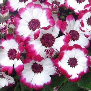 Cinéraire à fleurs. Le pot de 10.5 cm 854017