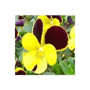 Viola cornuta multicolore en pot de 10,5 cm 791705