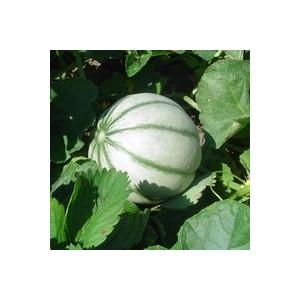 Melon Brodé Charentais Jenga Greffée. Le pot de 1 litre 41506