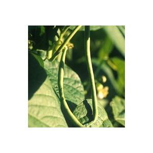 Haricot nain Pongo. La barquette de 6 plants 498875