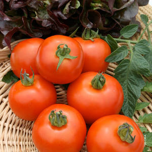 Tomate ronde  Cobra. Le pot compostable de 10,5 cm 447475