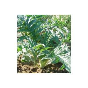 Cardon. La barquette de 6 plants 612819