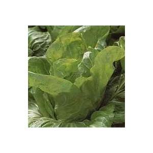 Chicorée Pain De Sucre. La barquette de 12 plants 498886