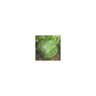 Courgette Ronde De Nice. Le pot de 10,5 cm 474114
