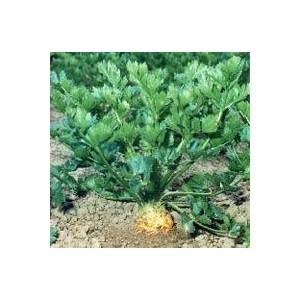 Céléri Branche. La barquette de 6 plants 423153