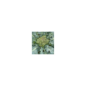 Chou Brocoli Pacifica. La barquette de 6 plants 474055