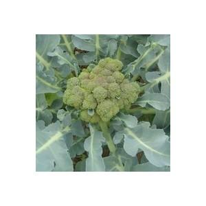 Chou Brocoli. La barquette de 6 plants 423157
