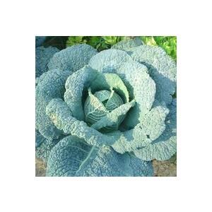 Chou De Milan. La barquette de 6 plants 498874