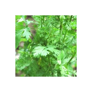 Coriandre bio. Le pot compostable de 10.5 cm 450517