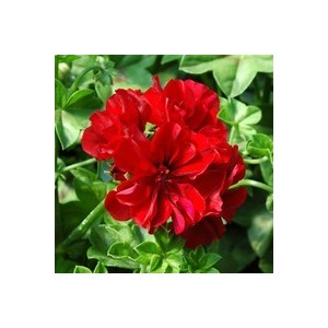 Géranium lierre double rouge. Le pack de 6 plants 916373