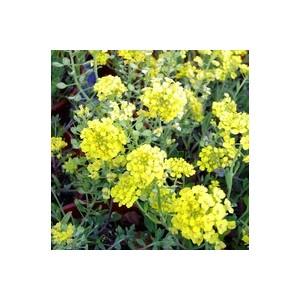 Alyssum Montanum. Le pot de 1 litre 128203
