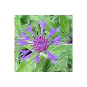 Centaurée vivace. Le pot de 2 litres 794620