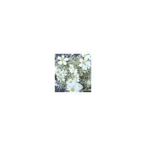 Cerastium Tomentosum. Le pot de 1 litre 795716
