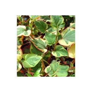 Houttuynia Cordata Chameleon. Le pot diam 12 cm 116301