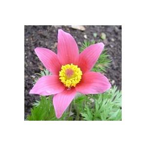 Pulsatilla vulgaris rose en pot de 1 L 796202