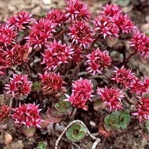 Sedum Spurium. La barquette de 6 plants 483795