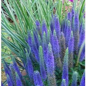 Veronica spicata bleue en pot de 5 L 128303