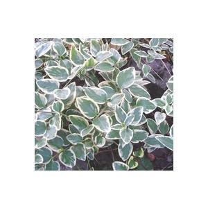 Grande pervenche bleue en pot de 1 L 796400