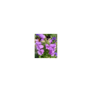 Campanula Medium. Le pot de 1 litre 795274