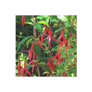 Fuchsia vivace. Le pot de 1 litre 795868