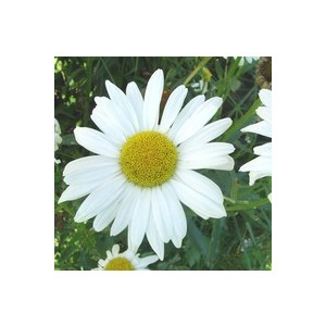 Marguerite naine. Le pot de 5 litres 182426