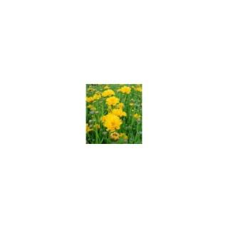 Coréopsis vivace. La barquette de 6 plants 794372
