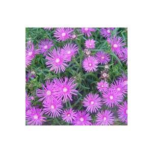 Delosperma Cooperi. La barquette de 6 plants 472626