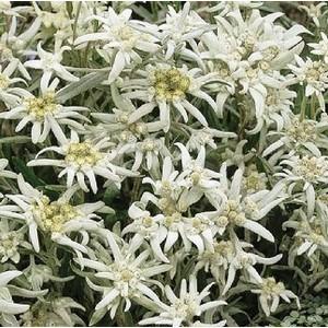 Edelweiss. Le pot de 1 litre 796035