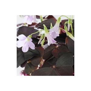 Oxalis trèfle à 4 feuilles. Le pot de 1 litre 796096