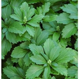 Pachysandra Terminalis. Le pot de 1 litre 110812