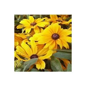 Rudbeckia vivace multicolore en pot de 5 L 113390