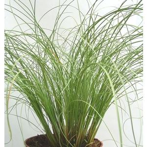 Carex. Le pot de 3 litres 185177