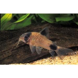 Corydoras panda 796465