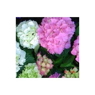 Hortensia à grandes fleurs en pot de 2 litres (doublon) 929008