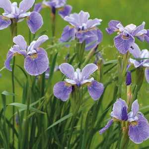 Iris d'Amérique godet 9x9 cm 798883