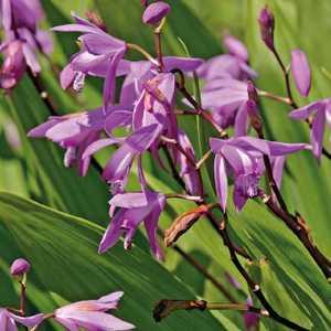 Orchidée d'eau godet 9x9 cm 798962