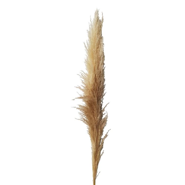 Herbe de la Pampa 708145