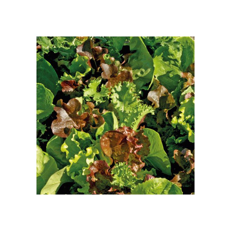 Mesclun Cretois bio. La barquette de 12 plants 709379