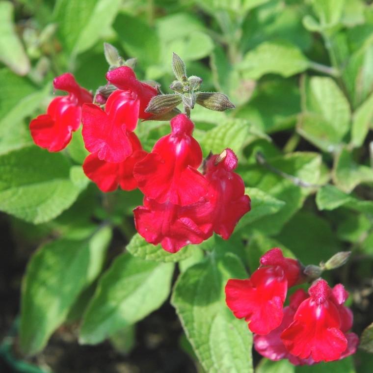 Salvia Grahamii Rouge. Le pot de 9 x9 cm 709531