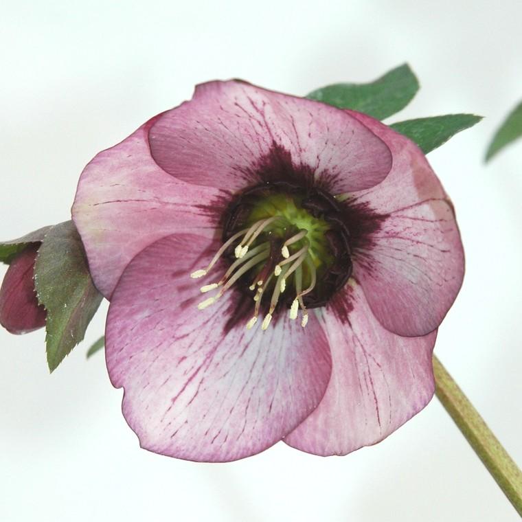 Hellébore Hgc® Ice N' Roses® Rosali. Le pot de 2 litres 710493