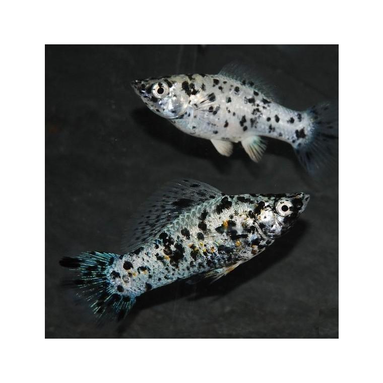 Molly Dalmatien noir et blanc 5 cm 721250