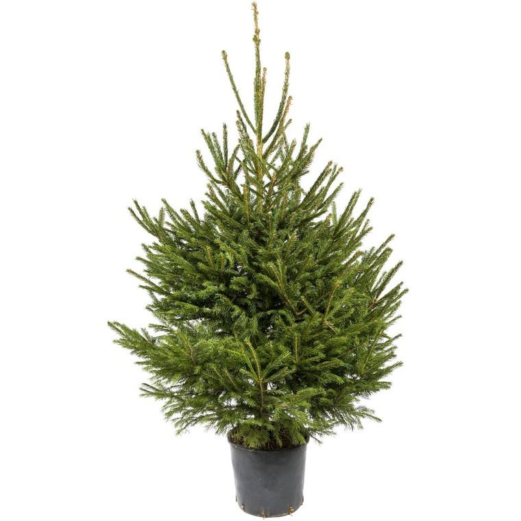 Sapin de Noël en pot Picea Excelsa vert 150/175 cm 781893