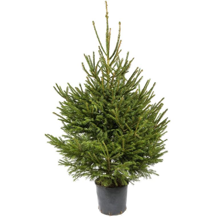 Sapin de Noël en pot Picea Excelsa vert 100/125 cm 781668
