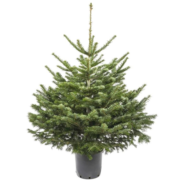 Sapin de Noël en pot Nordmann vert avec racines 100/125 cm 781978