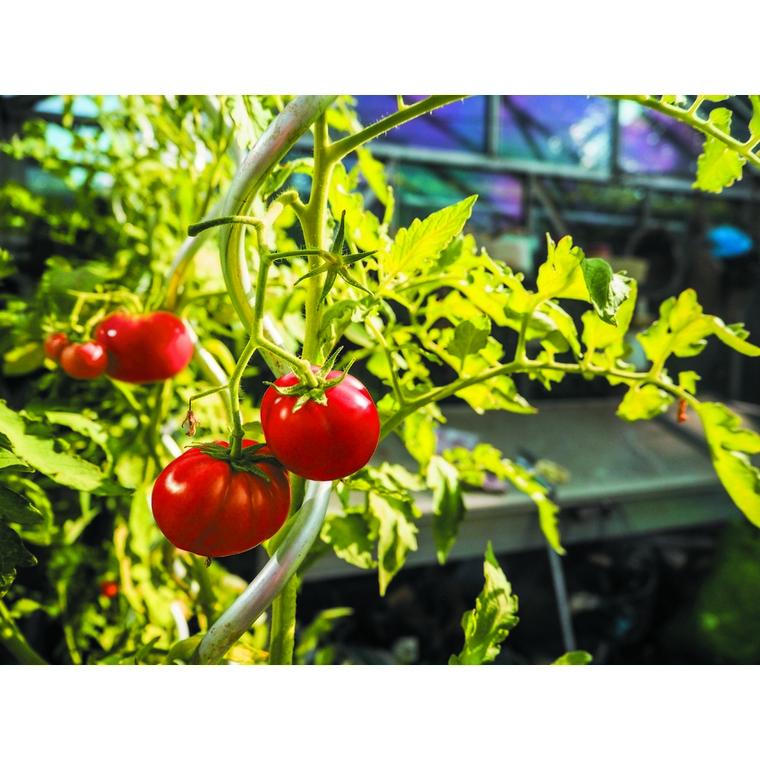 Tuteur tomates en spirale 1,80m