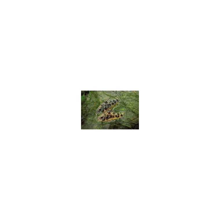 Corydoras marbré 785225